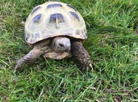 Horsefield Tortoise & Set up