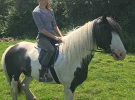 Confident Rider Cob For Sale