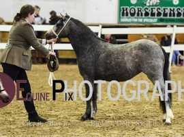 Chunky Welsh A 3years filly