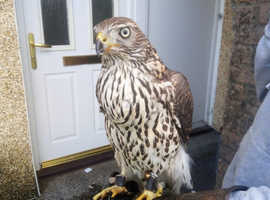 Northern Gos hawk