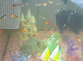 Guppy endlers and platties for sale
