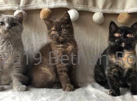 Exceptional British Shorthair Kittens