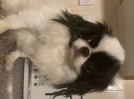Japanese chin STUD ONLY