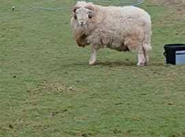 Herdwick Ram for sale
