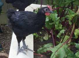 Australorp Bantam Cockerel