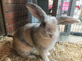 to good home Harlequin male rabbit
