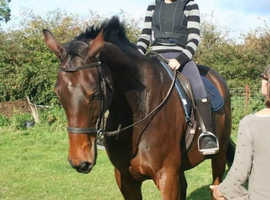 Handsome 17hh+ TB gelding for sale/LWVTB