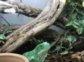 Rare opportunity male Fiji Banded Iguana for sale