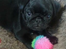Pug puppies 5th Generation