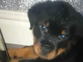 Full German  bitch rottweiler pup