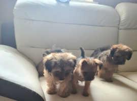 Cute yorkie x cairn terrier