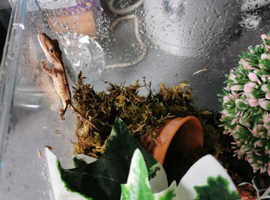 Special Crested gecko juvanile