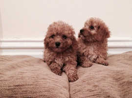 You Red cavapoo pups
