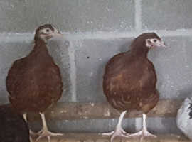 Rhode island red pullets