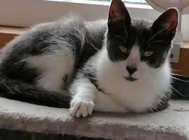 Stunning British Shorthair Cross KITTEN & Female CAT