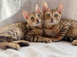 Stunning FEMALE Golden/Brown Bengal Kittens READY NOW £750