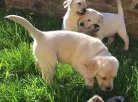 Adorable Labrador Retriever Puppies, & Great With Children.