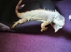 Iguana Lizzy