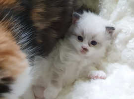 Half persian and half ragdoll kittens for sale in WSM