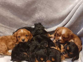 Health Tested Cavalier Puppies