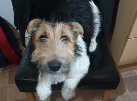 Fox terrier for rehome