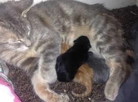 British Shorthair kittens (gorgeous colors)
