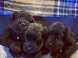 ALL BLACK KC REGISTERED MINIATURE SCHNAUZER PUPS