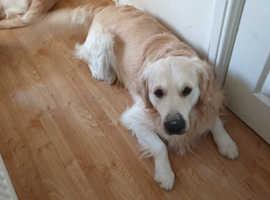 Kc registered golden retriever stud dog