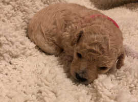 **Last three puppies*** Stunning poochon (bichon fries x poodle) litter for sale.