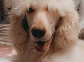 Standard poodle KC