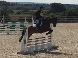 Very Smart Bay Gelding / Schoolmaster/ RC Horse