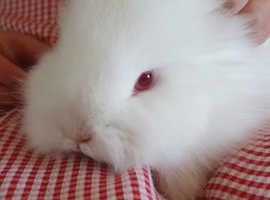 Free two lovley lionhead bunnies