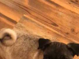 Pug puppies 1 girl left