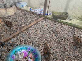 1 hybrid 1 bantham & 4 quails