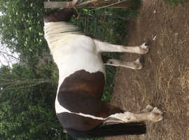 Coloured Cob mare
