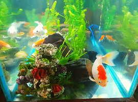 I am after a big fancy goldfish
