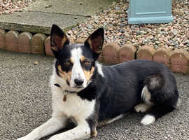 Meg is a stunning 3 years old collie.