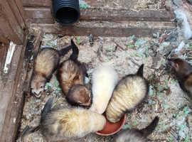 5 gorgeous ferrets