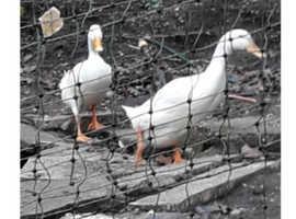 Pair Pekin Cross Runner Ducks