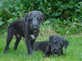 Bedlington whippet x Bedlington puppies!!