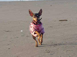 Looking for stud for my 2 minicher pinscher for a pick of the litter