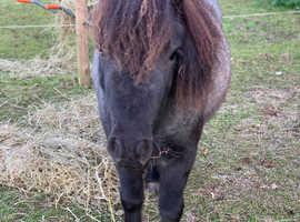 Blue Roan Shetland Pony