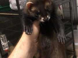 Ferret and EU polecat kits for sale