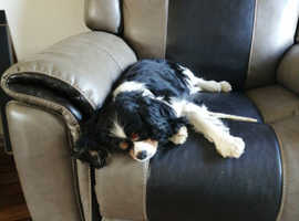 2 older cavaliers for rehoming together