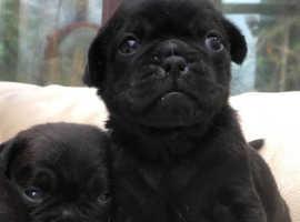 Gorgeous Black JUG (Jack Russell x Pug) Pups