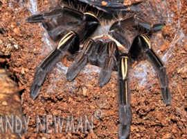 Skeleton Tarantula (Ephebopus murinus)