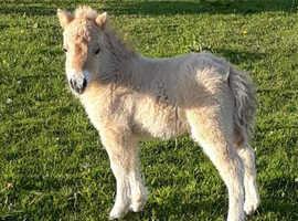 Cream dun miniature colt foal
