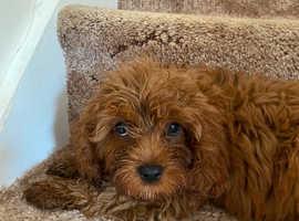 Boy pup