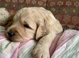 Multigenerational health tested Goldendoodle