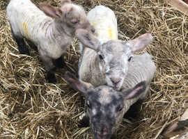Pet lambs sheep